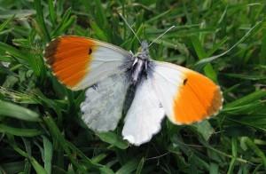 Gran Bretagna:  a rischio farfalle e vegetazione