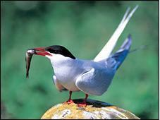 Strage di uccelli marini  sulle coste Usa dell'Atlantico