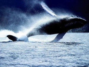 I sonar provocano danni alle balene?  Spiaggiamenti sarebbero legati al fenomeno  Marina Usa nega, ma modifica procedure
