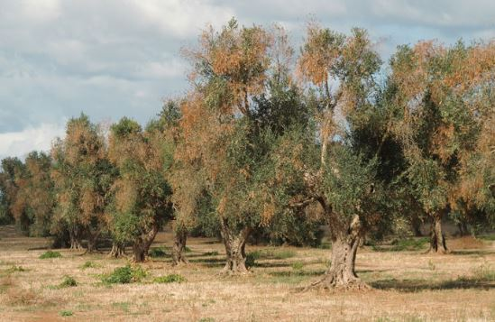 """La Francia si vendica della """"pugnalata alla schiena"""" mussoliniana e ci fa la guerra sulle piante di ulivo. Ci vanno di mezzo i prodotti pugliesi"""