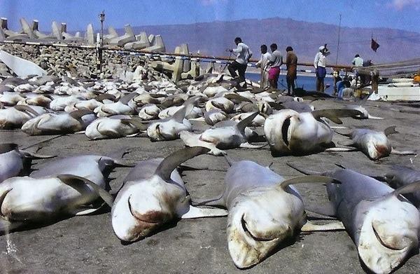 Ecuador: sequestrate 200mila pinne di pescecani. Strage di 50000 squali
