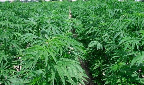 Londra: scoperta piantagione di cannabis nascosta in un parco cittadino