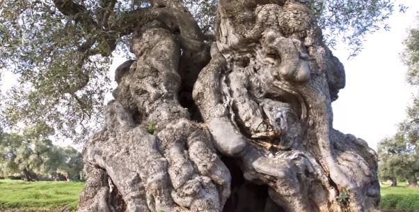 Puglia: magistratura blocca taglio degli ulivi