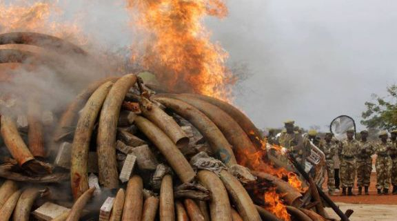 Kenya: falò di oltre 100 tonnellate di zanne di elefante