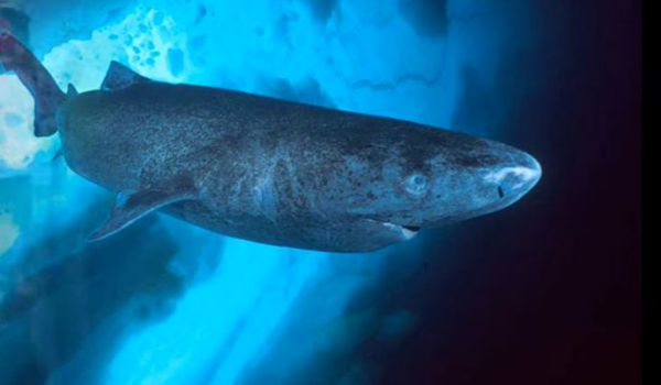 Gli squali della Groenlandia i più longevi al mondo. 400 anni