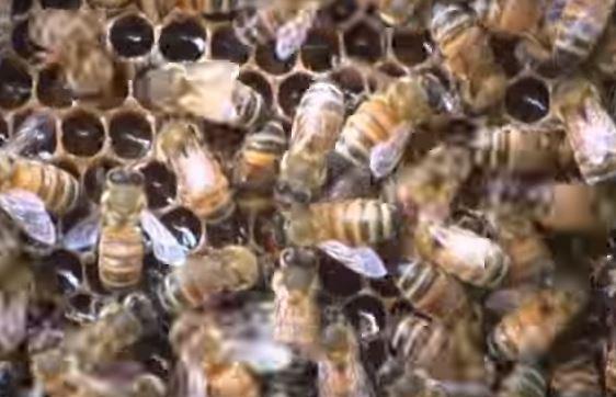 Unione europea vieta i pesticidi che uccidono le api